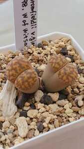 リトープス ブロムフィールディ v.グラウディナエ L2-98, W of Witsand 種子15粒