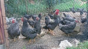 孵化用 岡崎おうはんの 有精卵 28個