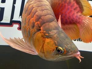 アロワナ レッドアロワナ 紅龍 ショート個体 発色良好 極上個体