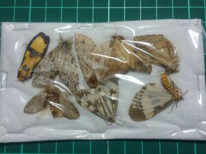 未。標本。85 ベトナムの蛾MIX。即決