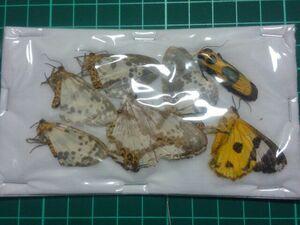 未。標本。91 ベトナムの蛾MIX。即決