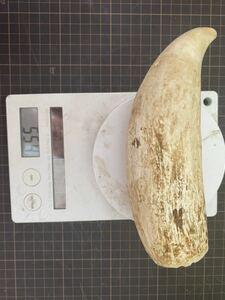 クジラの歯 鯨の歯 鯨歯 マッコウクジラの歯 マッコウクジラ歯