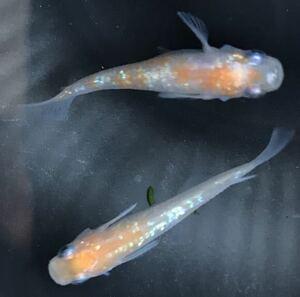 【元気めだ係CO.】あけぼの紅白ラメメダカ 成魚2ペア 体長2.5cm以上 ☆写真の通り極上ラメの綺麗個体です
