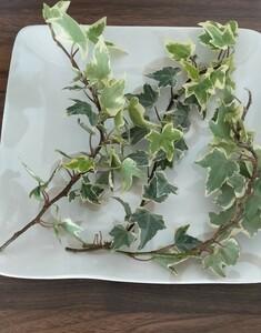 アイビー カット苗 ヒデラ 観葉植物