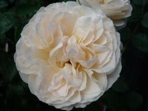 ★バラ苗★HT★ セバスティアン クナイプ ◎優しい色合のクラシカルな花に、スパイシーな香り♪ 7号 京成
