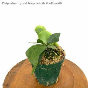 コウモリラン 交配種(エレファントティス × ウィリンキー) 4寸 メリクロン苗 (ビカクシダ hybrid elephantotis × willinckii)