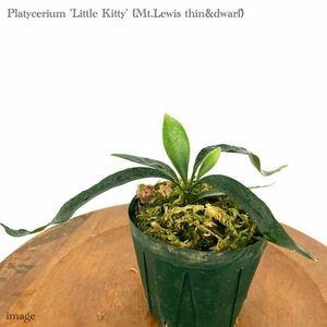 コウモリラン 'リトルキティ' 3寸 メリクロン苗 (ビカクシダ 交配種 platycerium hybrid 'Little Kitty' Mt.lewis thin & dwarf)