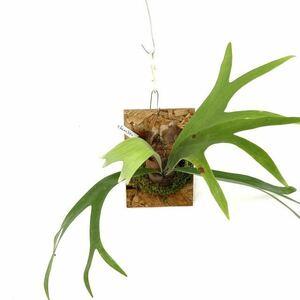 (現品) コウモリラン 交配種(ビフルカツム × ビーチー) (No.40435) (ビカクシダ platycerium hybrid bifurcatum × veitchii)
