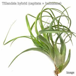 チランジア 交配種(カピタータ × バルビシアーナ) M size (エアープランツ ティランジア hybrid capitata × balbisiana)