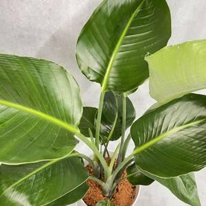 オーガスタ― 植物 観葉植物 プレゼント インテリア