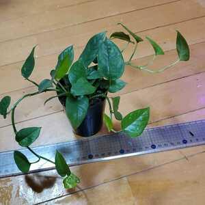 scindapsus スキンダプサス スキンダプタス レア 希少 フィロデンドロン 抜き苗