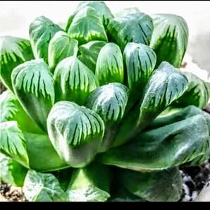 多肉植物 ハオルチア オブツーサ おうち時間