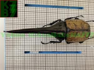【昆虫標本】ヘラクレスオオカブト(DYNASTES HERCULES) 死虫標本コレクション 商売繁盛金運財運開運祈願風水装飾品★長さ174mm E13