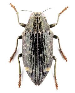 P. luczoti 10 マダガスカルのタマムシ標本