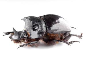 H. bucephalus 09 セアカナンバンダイコクコガネ ペア標本 ジャワ島