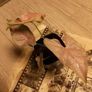 根付き苗 シンゴニウムピンク レッドトロピカーナ ネオン バタフライ
