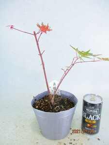 [盆栽素材市場] 出猩々モミジ (71056銀ポット)全高:28㎝※同梱包は「まとめて取引」手続厳守※6点迄追加送料無