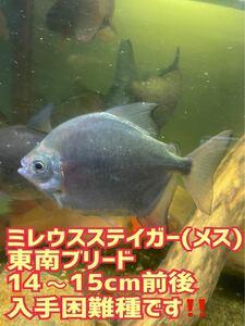 【レア魚!】ミレウスステイガー (メス)14~15cm前後/東南ブリード個体/2匹のみです!