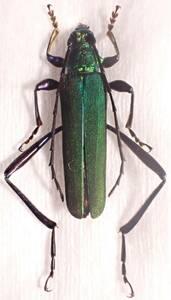 ●●アオカミキリ1ex. 静岡県●●国産 日本産 日本産 日本産甲虫 国産甲虫 昆虫 甲虫 虫 カミキリ カミキリムシ 標本