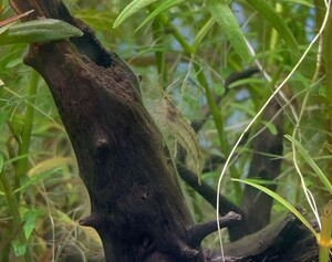 ミナミヌマエビ 5匹セット ※雄雌のご指定不可