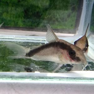熱帯魚 コリドラス・アルクアータス 1匹 ※雄雌のご指定不可