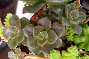 オマケつき 多肉植物 メラコ エケベリア カット苗1本 大きさ2cm位になります。