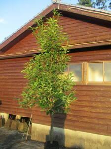 Acorn деревья ☆ ☆ Arakashi H2.5M 1