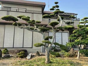 マキの木 槙 庭木