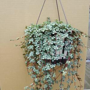 ピレアグラウカ 観葉植物 ミニ植物、微型植物、送料込み