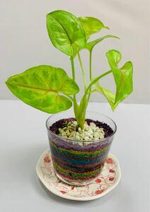 シンゴニウム ハイドロカルチャー カラーサンド 観葉植物 インテリア小物