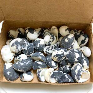 貝 貝殻 海 夏 牛柄 モノクロ 天然 ハンドメイド ハーバリウム アロマサシェ レジンアクセサリー パーツ シェル