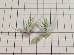 Tillandsia ionantha var. vanhyningii ex. EJG チランジア イオナンタ バンハイニンギー 欧州植物園由来 自家産子株 1芽のみ