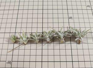 Tillandsia ionantha vanhyningii ex. TI チランジア イオナンタ バンハイニンギー 米国TI由来 子株