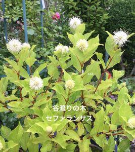 谷渡の木 タニワタリの木 タニワタリノキ 庭木 花木 セファランサス