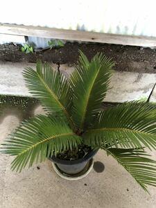 ◆ソテツ◆植木◆庭木◆観葉植物◆鉢植え◆ガーデニング ◆