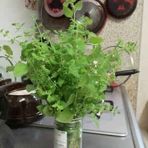 自然栽培レモンバーム35g以上ネコポスサイズに入るだけ◆送料込み◆不眠症更年期障害花粉症ダイエット健康茶