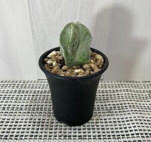 Astrophytum coahuilens アストロフィツム・白ランポー玉  送料無料 実生 メキシコ原産 塊根植物 サボテン 多肉植物 柱サボテン