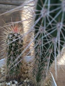 Pachycereus sp パキセレウス 原種 送料無料 実生 メキシコ原産 塊根植物 サボテン 多肉植物 柱サボテン 輸入株 希少種セット株