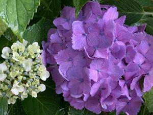 紫陽花 アジサイ 挿し穂 3本 2節以上付き ■送料無料 紫系 西洋紫陽花  あじさい クリックポスト