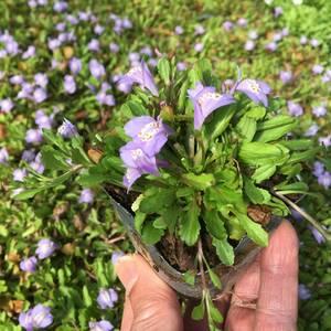 サギゴケ 紫  15鉢セット