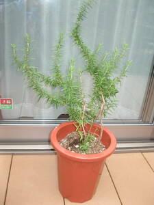 ■ ローズマリー鉢植え 1鉢 / ハーブ