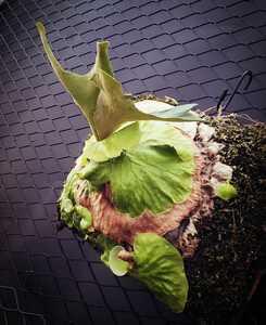 ビカクシダ ホーンズサプライズ P. Horne's Surprise / Platycerium 壁掛け コウモリラン シダ 観葉植物 多肉 植物 花 インダストリアル 57
