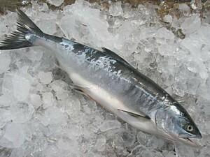 海産問屋 カネニの「とき鮭 塩糀漬け 3切れ」