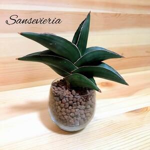 サンスベリア サムライドワーフ ハイドロカルチャー 観葉植物