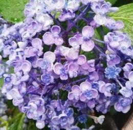 【即決】アジサイ  苗 紫陽花 あじさい 根付き 渦アジサイ おたふく 根付き 1本