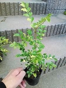 品薄!斑入りシマトネリコ・S ◎常緑樹◎庭木、鉢植え、観葉植物にも!【送料S】