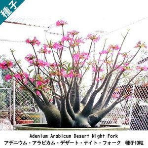 多肉植物 塊根植物 種子 種 アデニウム・アラビカム・デザート・ナイト・フォーク Adenium Arabicum Desert Night Fork 種子10粒