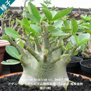 多肉植物 塊根植物 種子 種 アデニウム・アラビクム ドワーフ Adenium Arabicum Dwarf PMK キョウチクトウ科 矮性品種 種子10粒