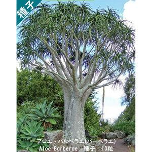 多肉植物 種子 種 Aloe Barberae アロエ バルベラエ (バーベラエ) 泰山錦 ツリーアロエ 種子10粒