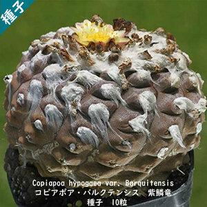 観葉植物 種子 種 Copiapoa hypogaea var Barquitensis コピアポア バルクテンシス 紫鱗竜 南米 サボテン 種子10粒